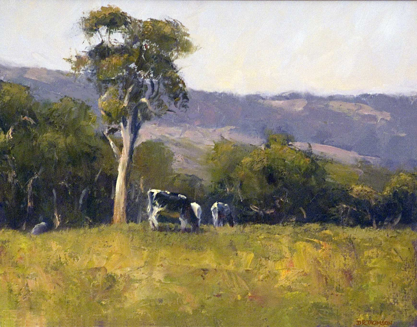 Cows Grazing near Meadows - South Australia